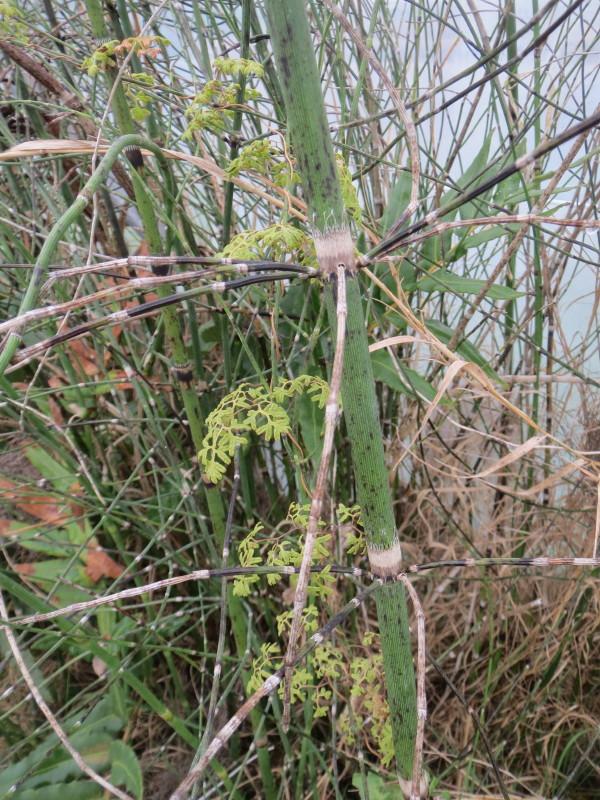 Lygodium palmatum on Equisetum Giganteum