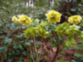 Helleborus hyb au jardin jungle, jardin a visiter en normandie