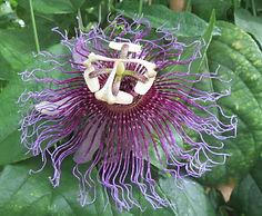 Passiflora serratifolia, jardin exotique karlostachys