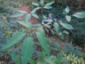 schefflera macrophylla, jardin jungle