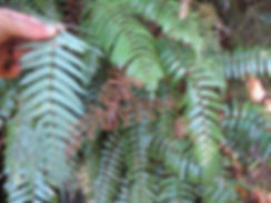 Plagiogyria glauca (Gongshan 3000) CHB&MV15.CH138,karlostachys jungle garden, garden from normandy