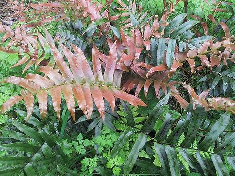 Blechnum nova-zelandiae x wattii at karlostachys jungle garden