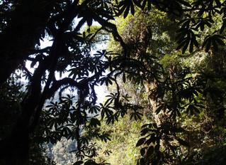 Brassaiopsis shweliensis CHB14.CH20 a cold hardy Brassaiopsis