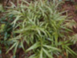 Pteris sp Arunachal Pradesh, jardin jungle karlostachys