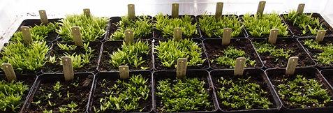 Aechmea 'Jardin jungle', hybride rustique de bromeliaceae