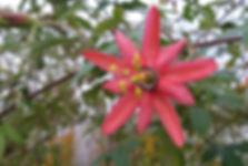 Passiflora 'jardin jungle 78'.JPG