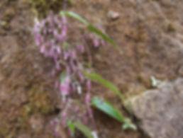 Clematis sp yunnan CHB16.CH53 jardin jungle, normandie