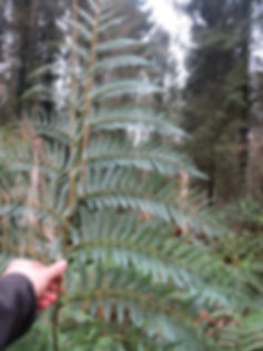Lophosoria quadripinnata, karlostachys jungle garden