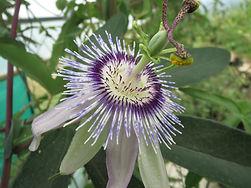Passiflora hyb CHB15.X9, jardin jungle