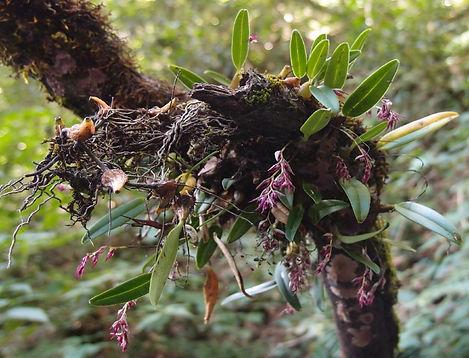 Sunipia sp pianma, orchidée epiphyte rustique.JPG