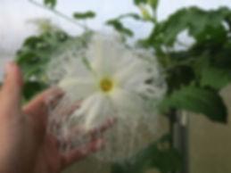 Trichosanthes laceribracteata CHB11.T1, au jardin jungle, jardin a visiter en normandie