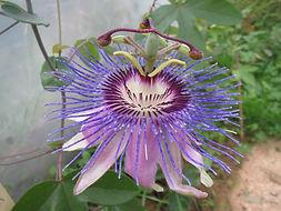 Passiflora hyb CHB15.X13C, jardin jungle, parc a visiter en Normandie