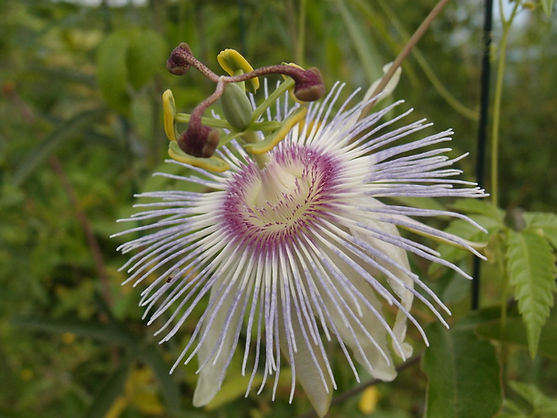 Passiflora 'jardin jungle 12', passiflore rustique