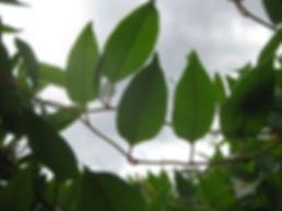 Muehlenbeckia hastulata, jardin jungle, normandie