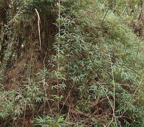 Chusquea sellowii BBM19.BR220.jpg