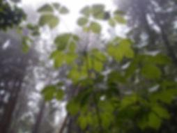 Chengiopanax sciadophylloides, jardin jungle
