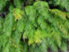 Blechnum novae-zelandiae CHB11.NZ, jardin a visiter en normandie