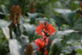 Hedychium deceptum (rubrum), Karlostachys Jungle Garden, Place to see in Normandie