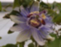 Passiflora 'jardin jungle 82'.JPG