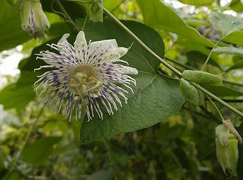 Passiflora tucumanensis, Karlostachys Jungle Garden, wonderful gardens of france