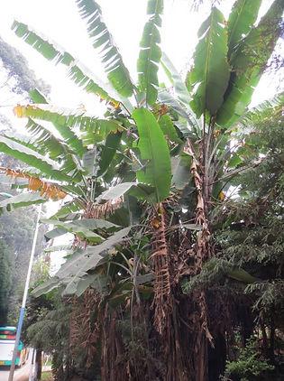 Musa yunnanensis (giant form) CHB&MV15.CH177 au Yunnan