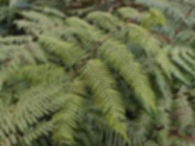 Pteridrys lofouensis CHB&MV15.CH180 , karlostachys jungle garden, garden to visit in Normandy