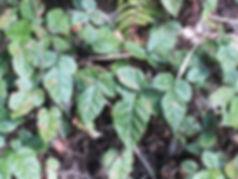 Rubus sp Pianma CHB13.CH40, jardin jungle karlostachys, parc botanique a visiter en haute normandie