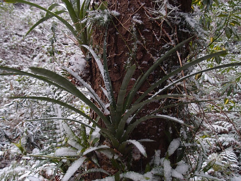 Aechmea distichantha minor, bromeliaceae rustique