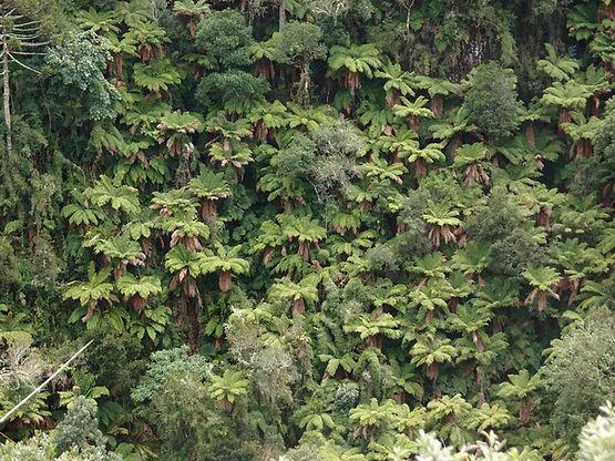 expédition botanique morro da igreja forest, Santa Catarina, Brésil 2019