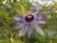 Passiflora 'jardin jungle 57'.JPG