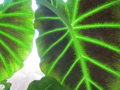 Colocasia, jardin jungle, seine-maritime