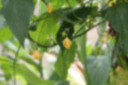 Sinobaijiania yunnanensis, jardin exotique le jardin jungle karlostachys