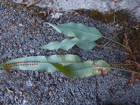 Phymatopteris griffithiana CHB14.CH33, jardin jungle karlostachys, jardin a visiter en normandie