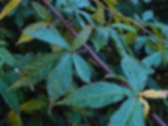 Rubus pentagonus eglandulosus CHB14.CH103, jardin jungle, parc botanique exotique a visiter