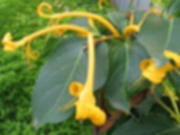 Lonicera hildebrandiana, jardin jungle karlostachys, seine maritime