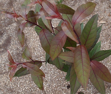 Fuchsia 'Jardin Jungle 13'.jpg