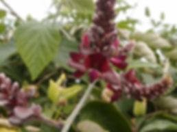 Callerya dielsiana dielsiana CHB14.CH jardin jungle