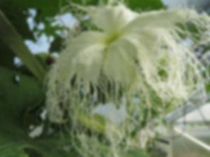 Trichosanthes, jardin jungle, normandie