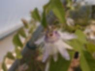 Passiflora 'jardin jungle 39'.JPG