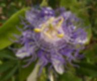 Passiflora 'jardin jungle 98' hybride du jardin jungle