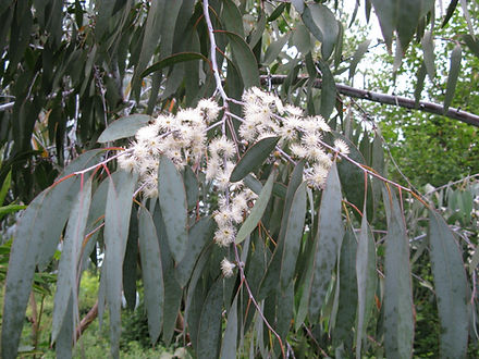 Eucalyptus perriniana 'Pendula', Jardin Jungle Karlostachys, Parc exotique en Normandie