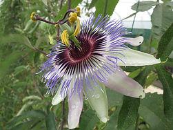 Passiflora hyb CHB15.X8, jardin jungle