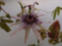 Passiflora 'jardin jungle 74'.JPG