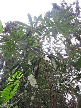 Schefflera rhododendrifolia CHB&CM08SIK52 au jardin jungle, parc a visiter en seine-maritime