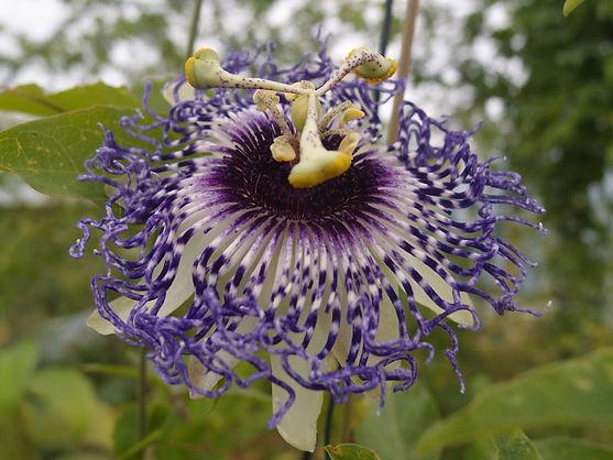 Passiflora 'jardin jungle 7', passiflore résistante au froid