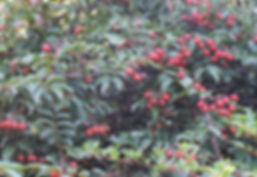 Rosa longicuspis CHB05.CH10, cold hardy form, jardin jungle, Normandie