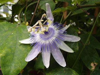 Passiflora 'Emily', jardin jungle, jardin a visiter de Normandie