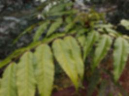 Mahonia dulongensis CHB16.CH44