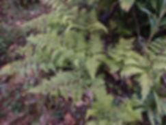 Dennstaedtia scabra CHB14.CH16, jardin jungle, parc botanique exotique a visiter