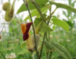 Aristolochia kaempferi , jardin jungle
